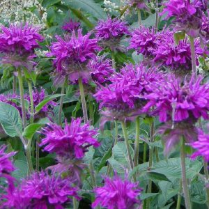 Monarda 'Purple Rooster'
