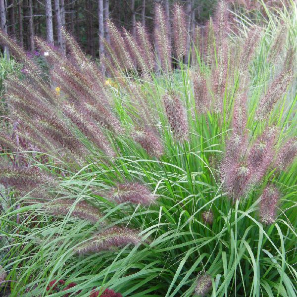 Pennisetum 'Red Head'
