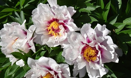Peony - Cora Louise in the Botaical Gardens at Plant Paradise