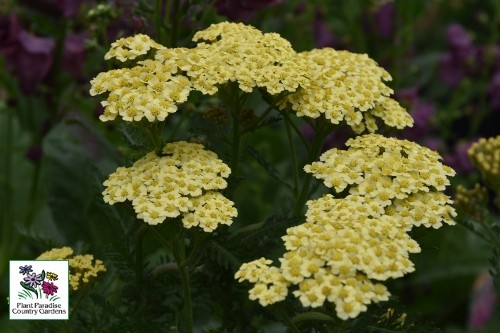 Achillea 'Sunny Seduction' (yarrow)