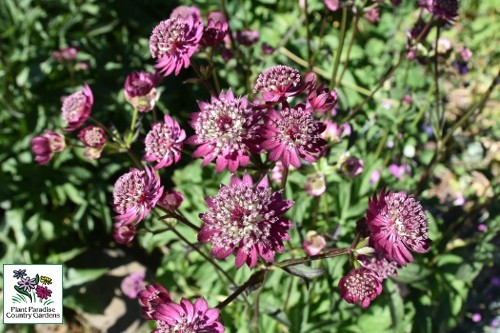 Astrantia 'Moulin Rouge' (masterwort)