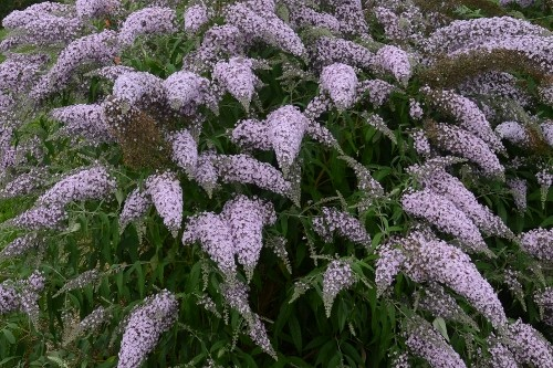 Buddleia 'Grand Cascade' (butterfly bush)