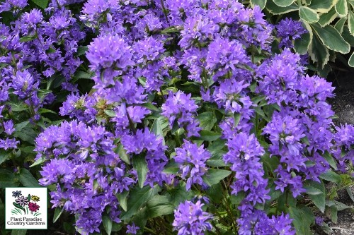 Campanula 'Freya' (clustered bellflower)