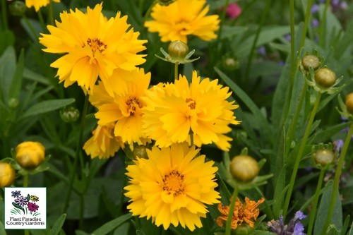 Coreopsis grandiflora 'Early Sunrise' (tickseed)