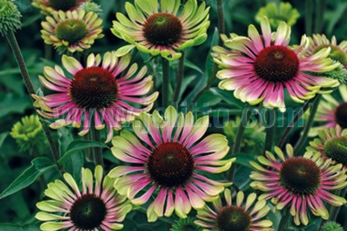 Echinacea purpurea 'Green Twister' coneflower