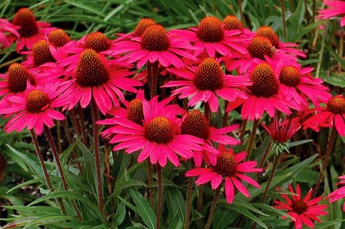 Echinacea Glowing Dream coneflower
