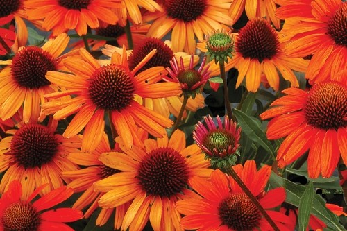 Echinacea Kismet Intense Orange coneflower