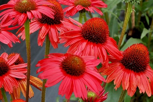 Echinacea Kismet Red coneflower