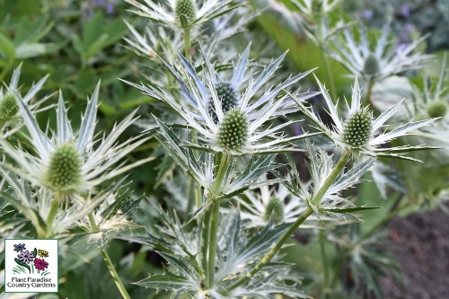 Eryngium zabelii 'Big Blue' sea holly