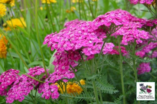 Achillea 'Saucy Seduction' (yarrow)