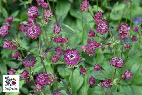 Astrantia 'Burgundy Manor' (masterwort)