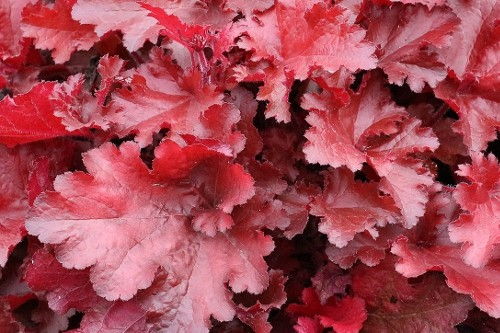 Heuchera 'Forever Red' (coral bells)