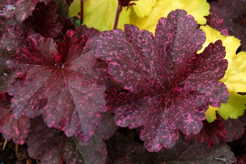 Heuchera 'Midnight Rose' (coral bells)