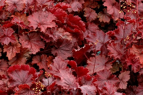Heuchera Northern Exposure 'Red' (coral bells)