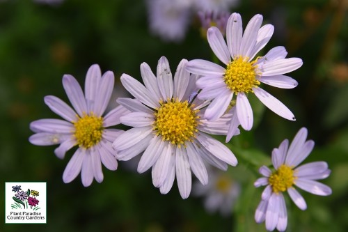 Kalimeris incisa 'Blue Star' (Japanese aster)