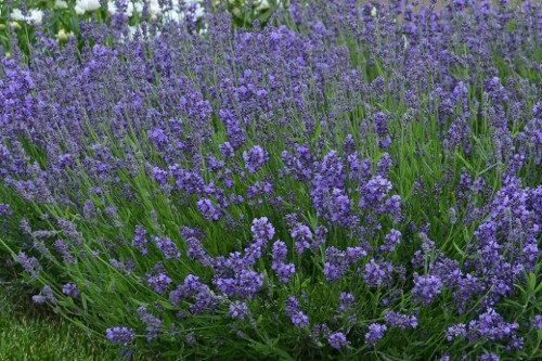Lavendula angustifolia 'Essence Purple' (english lavender)