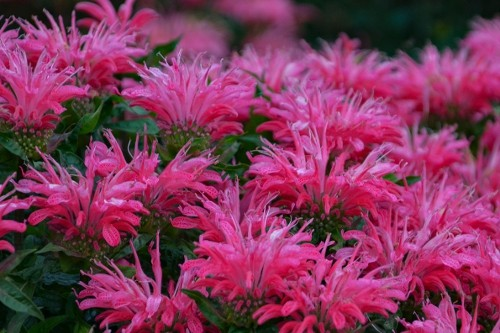 Monarda 'Electric Neon Pink' (bee balm)
