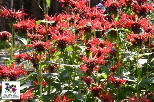 Monarda 'Jacob Cline' (bee balm)