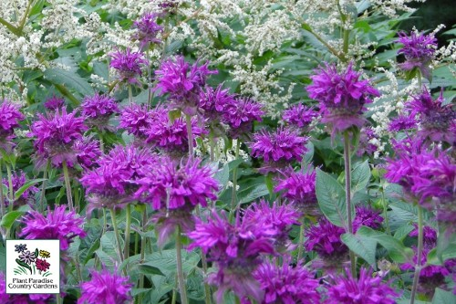Monarda 'Purple Rooster' (bee balm)
