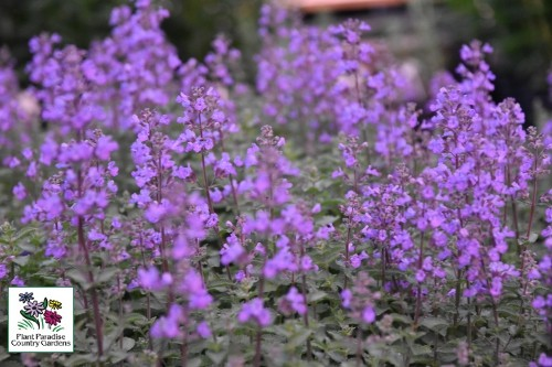 Nepeta faassenii 'Kitten Around' (catmint)