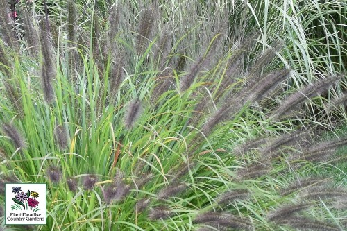Pennisetum alopecuroides 'Red Head' (fountain grass)