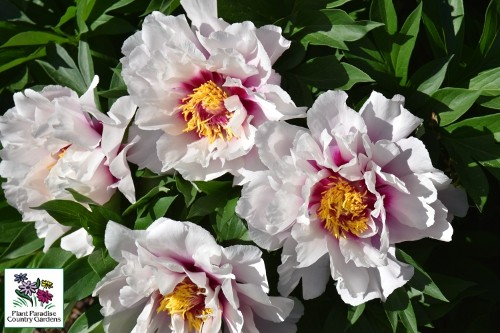 Paeonia 'Cora Louise' (Intersectional Peony)