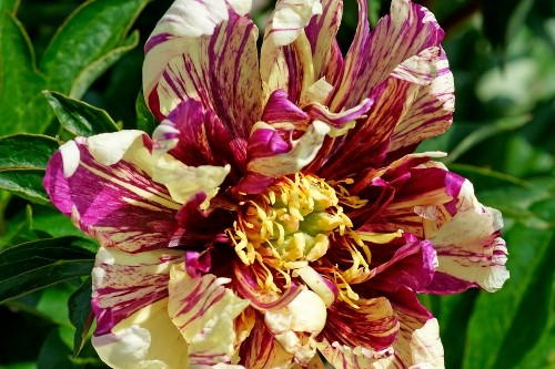 Paeonia 'Lollipop' (Intersectional Peony)