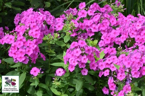 Phlox paniculata FLAME Series Purple