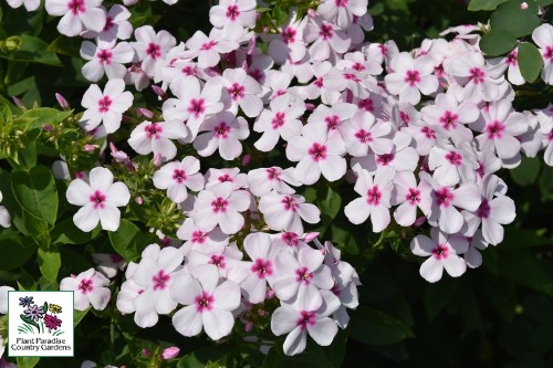 Phlox paniculata FLAME Series White Eye