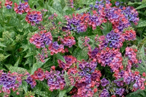 Pulmonaria 'Raspberry Splash' (lungwort)