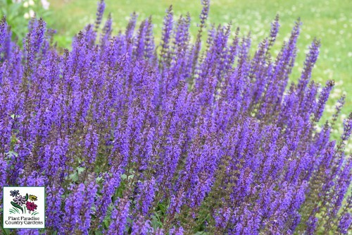 Salvia 'May Night' (perennial salvia)