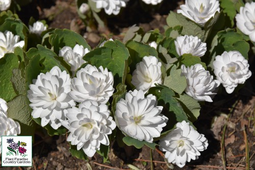 Sanguinaria canadensis Multiplex (double bloodroot)