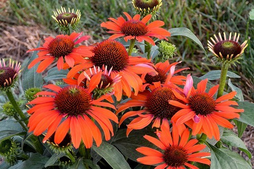 Echinacea Eye Catcher AtomicOrange