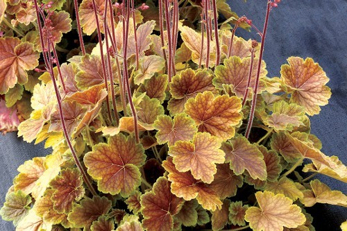 Heuchera_Northern_Exposure_Sienna