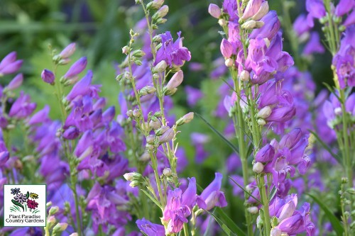 Penstemon_strictus