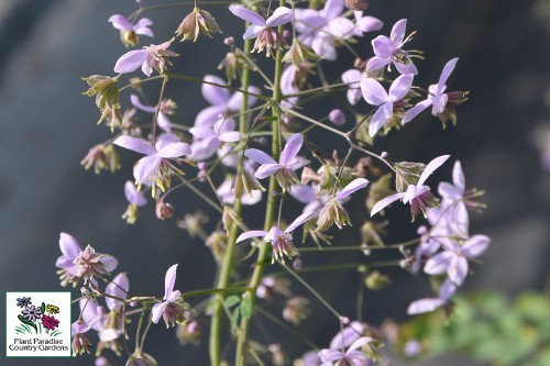 Thalictrum_Splendide