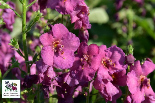 Verbascum Antique Rose