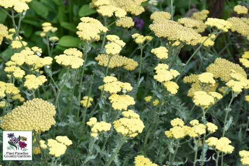 Achillea Moonshine (yarrow)
