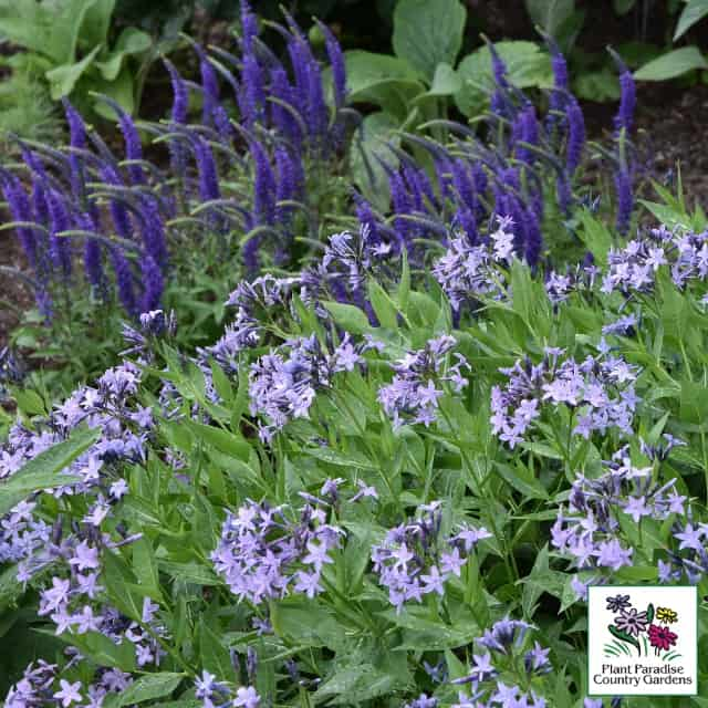Amsonia 'Blue Ice' and Veronica 'Royal Candles'