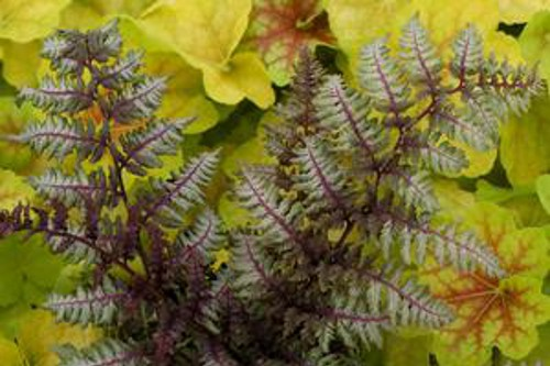 Fern Regal Red