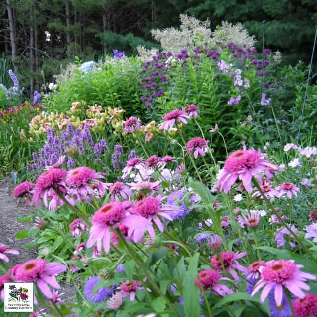 Echinacea 'double Scoop Cranberry', Stachys 'Hummelo', Monarda 'Purple Rooster', Persicaria polymorpha, Daylily 'Daring Deception'...