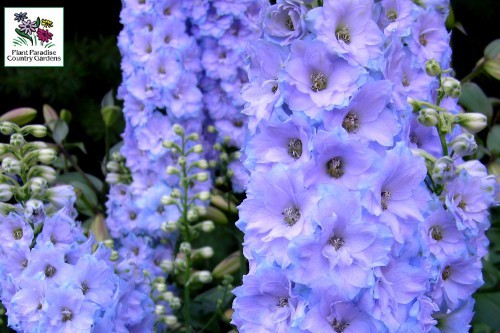 Delphinium Morning Lights