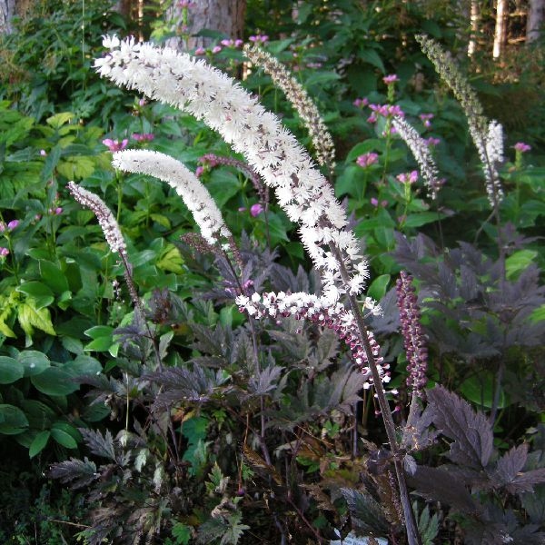 Actaea Pink Spike