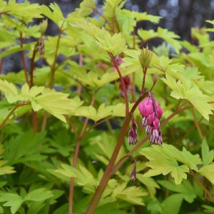 Dicentra Goldheart